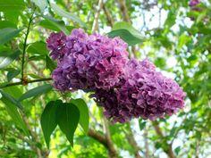 # Lilac Twig Blossom Hd Flowers, Desktop Windows, Iphone Mobile, Wallpaper Backgrounds, Lilac, Plants, Syringa Vulgaris, Plant, Planets