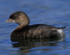 Pied-billed Grebe (Podilymbus podiceps antarcticus)  Rarely seen in flight. Often secretive in the breeding season, hiding in marsh, making bizarre whinnying, gobbling, cooing noises by day or night.