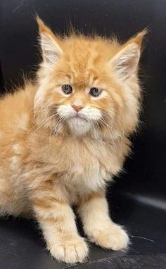 When it comes to Maine Coon Vs Norwegian Forest Cat both can make good pets but have some traits and characteristics that are different from each other Maine Coon Kittens, Siamese Kittens, Kittens Cutest, Cats And Kittens, Tabby Cats, Bengal Cats, White Kittens, Black Cats, Pretty Cats