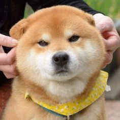 g p g ch ch shiba c b m t di n sau nh t qu t 843791680155069598 Cute Animals Cute Baby Animals, Animals And Pets, Funny Animals, Shiba Inu, Hachiko, Japanese Dogs, Akita Dog, Cute Dogs And Puppies, Stuffed Animals