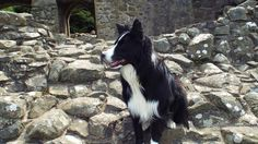 Sketrick Castle Ruins Comber County Down Northern Ireland...Asha the star of County Down was here