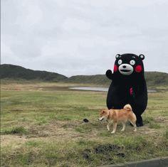 【GIF】柴犬Maru和kumamon部长的散步日常