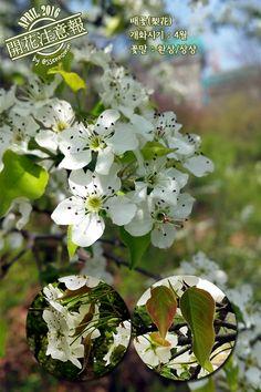 ▶개화주의보(048) 배꽃(梨花) → http://fb.com/blooming.news/photos/1713696425577864