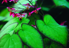 Epimedium x rubrum -- another drought-tolerant native plant that is a great ground cover. Patio Plants, Landscaping Plants, Garden Plants, Red Flowers, Colorful Flowers, Red Roses, Pieris Japonica, Ground Cover Plants, Studios