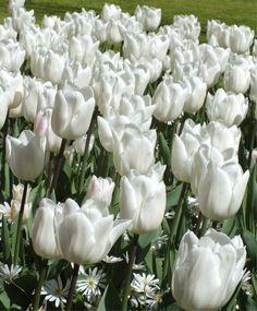 Tulip White Marvel - Single Early Tulips - Tulips - Flower Bulb Index Bulb Flowers, Tulips Flowers, Daffodils, Spring Flowers, Beautiful Butterflies, Beautiful Flowers, Bulbous Plants, Spring Flowering Bulbs, Cut Flower Garden