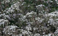 """Anthriscus sylvestris 'Ravenswing """"- Ogrodnictwo nadchodzący tydzien: Rośnie Baldaszkowate"""