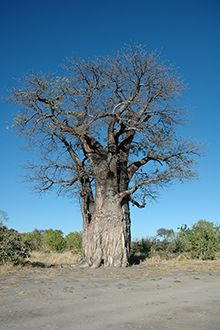 The game farm area of Hoedspruit bursts with plump baobab trees. Weird Trees, Baobab Tree, African Countries, Country Life, South Africa, Paintings, Live, Flowers, Plants