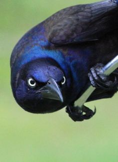 """Why do Common Grackles look so angry? What rage burns in their tiny bird hearts? Pretty Birds, Beautiful Birds, Animals Beautiful, Cute Animals, All Birds, Angry Birds, Exotic Birds, Colorful Birds, Tiny Bird"