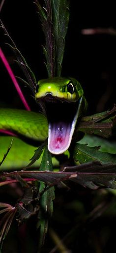 Rough Green Snake, Japan. Photo by Jason Wiles.
