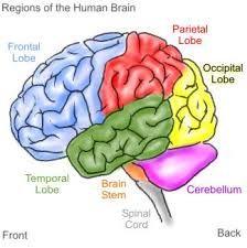 Regions of The Brain