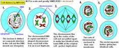 gcse biology Topic 1 Building blocks of cells Components of life Edexcel Gcse Biology Revision, Revision Notes, Plant Cell, Mitosis, Cell Wall, Body Cells, Cell Membrane, Division, Science