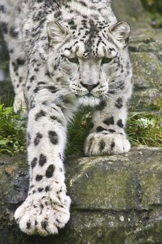 "Snow Leopard: ""Set the truth free, like a big wild cat, and it will take care of… Vida Animal, Mundo Animal, My Animal, Animals And Pets, Baby Animals, Cute Animals, Wild Animals, Beautiful Cats, Animals Beautiful"