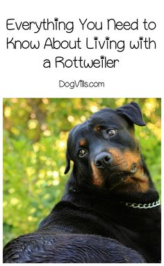 Living with a Rottweiler is no more dangerous than living with any other large dog breeds. Check out everything you need to know about life with this dog!