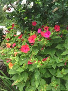Four 'o clocks...attracts  to hummingbirds