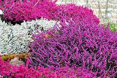 21 Best Cvece Images Plants Planting Tulip Bulbs Heather Plant