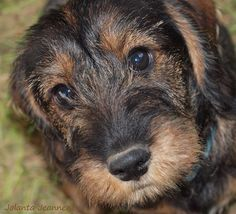 The dachshund breed of dog dates back hundreds of years, with the wire-haired first appearing in the late 19th Century. Description from diarioaragones.org. I searched for this on bing.com/images