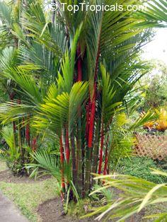 Cyrtostachys lakka, Cyrtostachys renda, Lipstick Palm, Sealing Wax Palm                photo ©toptropicals.com