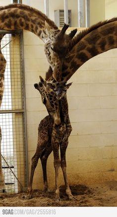 422518 306271322765092 371751471 n.jpg (308×767) Giraffe Family e8267b4d81a