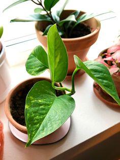 Indoor plants Potho Baby Grows, Indoor Plants, Planting Flowers, Baby Jumpsuit