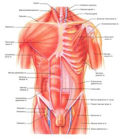 Intro to Anatomy Tissues, Membranes, Organs - Freethought Forum Human Organ Diagram, Body Organs Diagram, Human Body Organs, Human Body Anatomy, Learn English Grammar, Grammar Rules, Anatomy Reference, Ultrasound, Muscles
