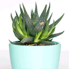 Can succulents and cacti live inside? How much sunlight do they need indoors? Receiving proper lighting is one of the most important things to consider when growing your plants indoors. Growing Succulents, Planting Succulents, Succulent Potting Mix, Cactus Plants, Indoor Plants, Planter Pots, Lighting, Blog, Lawn And Garden