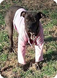 RAINBOW...nashville, TN - American Pit Bull Terrier Mix. Meet Rainbow, a dog for adoption. http://www.adoptapet.com/pet/11182793-nashville-tennessee-american-pit-bull-terrier-mix