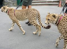 Cheetahs on leashes... what?!