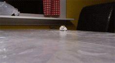 gif dwarf hamster? INCOMING SHUFFLESNUFFLER DETECTED.  AUTOMATED DEFENSE SYSTEMS ONLINE.   snufflesnufflesnuffle.