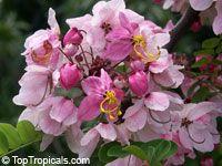 Cassia nodosa hybrid - Pink Shower, Appleblossom  Click to see full-size image