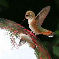Hummingbird staring at its reflection in a gazing ball