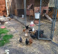 6 Week old chickens