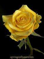 25 Long Stem (24 inch) Yellow Fresh Roses