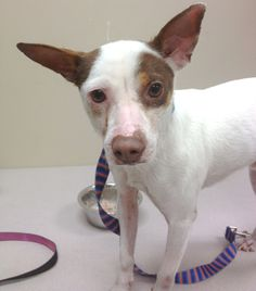 HOT DOG  eu date 06-20-14 Breed: Jack Russell Terrier (mix breed) Age: Young adult Gender: Male  Size: Small, HasShots, SpecialNeeds, Shelter Information: Decatur Animal Services 300 A Beltline Road SW  Decatur, AL Shelter dog ID: 20578 Contacts: Phone: 256-341-4790  Name: Carol Wicks  email: cwicks@decatur-al.gov