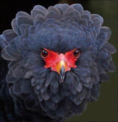Batteleur Eagle. Berghaan.