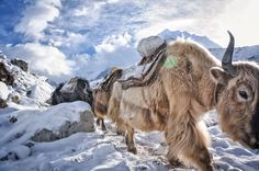 yaks along the route to the Everest Base Camp in Nepal