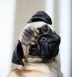 Pug <3 #pugs #Carlino Pug