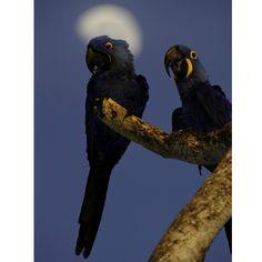 No Pantanal matogrossense, a arara azul tem a lua como auréola na foto de José Francisco Pevarelo Pacheco.