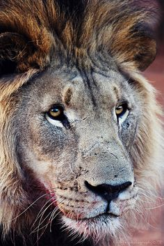 Lion again (and thanks) by ..illi.. (maybe I'm back), via Flickr