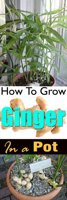 Growing ginger in a pot is easy! It's a great idea if you live in a cool temperate climate or you don't have a plenty of space.