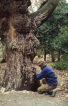 Hogweed stalks following channels in bark Hampstead Heath, London January 1986