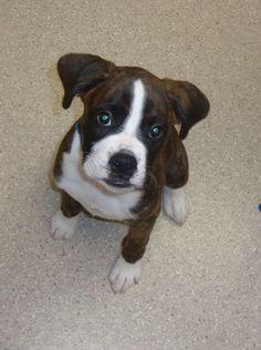 Charlie is a 12 week old Boxer