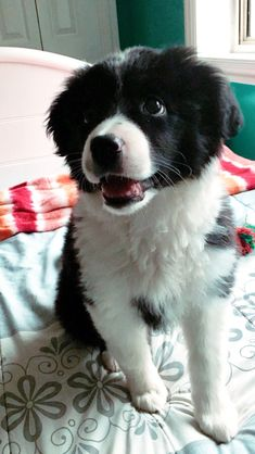 Clover Border Collie puppy #BorderCollie