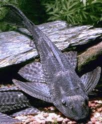 osCurve Mi Pecera: Enfermedades en los peces: Enfermedad en vejiga na...http://oscurve-mipecera.blogspot.com