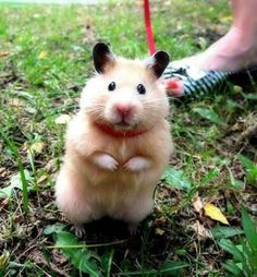 Yes, I have walked a hamster.  We just used a Barbie doll belt for the collar.