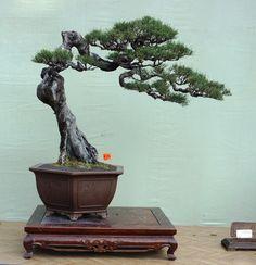 The Grand Indonesian Bonsai and Suiseki Exhibition Bonsai Ficus, Pine Bonsai, Indoor Bonsai, Bonsai Garden, Juniper Bonsai, Succulents Garden, Ficus Microcarpa, Bonsai Tree Types, Bonsai Styles