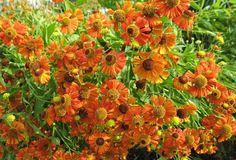 Helenium Moerheim Beauty,  Late summer perennial, AGM perennials
