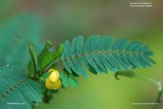 Partridge Pea: Sensitive Partridge Pea, Wild Sensitive Plant, Sensitive Pea- Georgia native