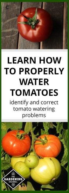 Learn how correctly identify and correct tomato growing problems with this watering guide.