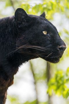 Profile of Blacky, male black leopard, Toni's zoo. #photography #fauna #panthers #leopards