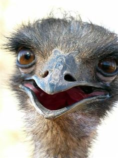Cheeky emu, Australia - Adventure Travel Writing by blackfrogpublishing.com